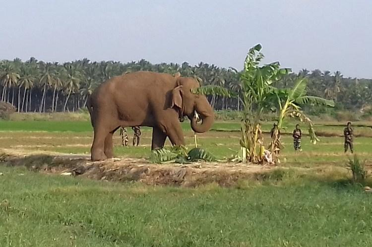 Chinnathambi elephant captured by injection